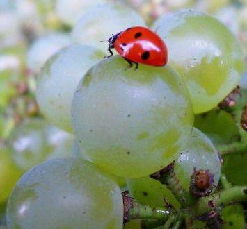 vini-biodinamici-uva-steiner-coccinella